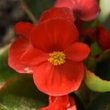 Semperflorens rossi della begonia Immagine Stock