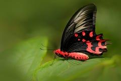 Semperi Antrophaneura, в среду обитания леса зеленого цвета природы, Малайзия, Индия Насекомое в троповых джунглях Бабочка сидя н стоковые изображения