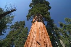 sempervirens美国加州红杉 库存图片