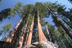 sempervirens美国加州红杉 图库摄影