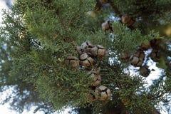 Sempervirens de Cupressus l'arbre méditerranéen de la Chypre photos libres de droits