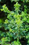 Sempervirens do Buxus fotografia de stock