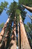 Sempervirens do Sequoia fotografia de stock