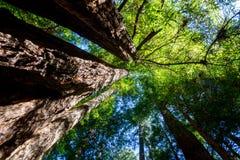 Sempervirens för sequoia för Kalifornien redwoodträd Arkivfoton