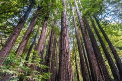 Sempervirens floresta da sequoia das árvores da sequoia vermelha, Califórnia imagem de stock royalty free