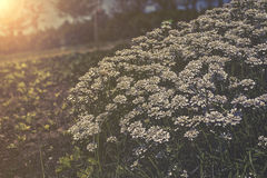 Sempervirens Iberis - белые цветки в заходе солнца сада Стоковое фото RF