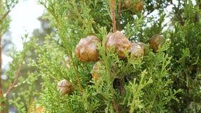 Sempervirens imperecederos del Cupressus del árbol conífero metrajes
