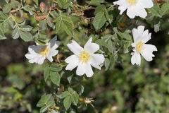 Sempervirens roses de Rosa d'arbre Image libre de droits