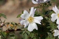 Sempervirens roses de Rosa d'arbre Photo libre de droits