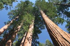 sempervirenssequoia Arkivfoto
