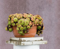 Sempervivens pot plants outdoors, succulents. Drought resistant plants. Mauve house wall behind Royalty Free Stock Photo