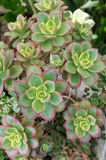 Sempervivium or hens and chicks Stock Photo