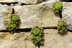 Sempervivum或houseleek植物 免版税图库摄影