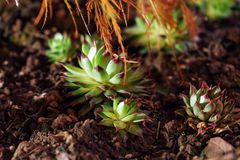 sempervivum植物的Houseleek夜 库存图片