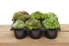 Sempervivum植物 免版税库存照片