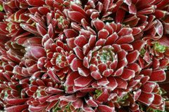 Sempervivum « Georgette » Images libres de droits