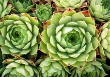 sempervivum προσκηνίου Στοκ Εικόνα