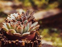 Sempervivum στο θερινό θερμό φως στοκ εικόνες