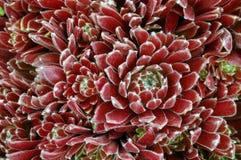 sempervivum της Georgette Στοκ εικόνες με δικαίωμα ελεύθερης χρήσης