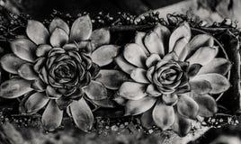 Sempervivum с падениями воды Стоковые Фотографии RF