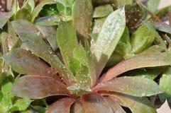 Sempervivum Royaltyfria Bilder