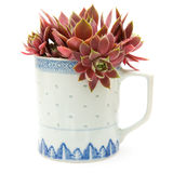 Sempervivum Stock Images