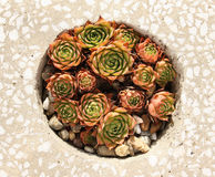 Sempervivum Imagem de Stock Royalty Free
