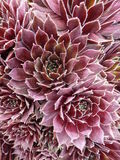 Sempervivum Foto de Stock