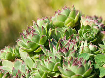 Sempervivum Photographie stock libre de droits