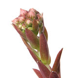 Sempervivum Stock Image