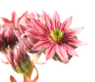 Sempervivum Stock Photography