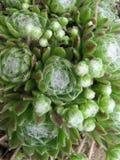 Sempervivum arachnoideum Fotografia Stock