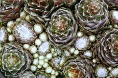 Cobweb Hens and Chicks Royalty Free Stock Image