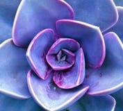 Sempervivum Blumenblätter Stockfoto