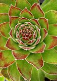 Hens and Chicks plant/Sempervivum rosette Royalty Free Stock Images