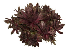 Sempervivum Stock Photos
