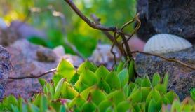 Sempervivum dans la cour Image stock