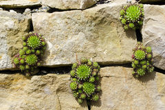 Sempervivum eller houseleekväxt Royaltyfri Fotografi