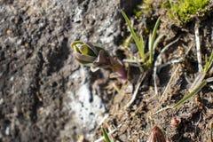 Sempervivum em rochas na primavera, pode dentro, a flor de pedra fotografia de stock