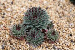 Sempervivum Fimbriatum Succulent. Plant in garden Stock Photography