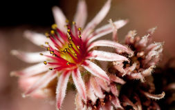 Sempervivum flower Royalty Free Stock Photos