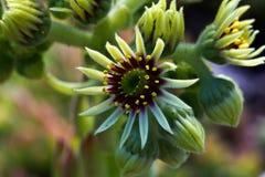 Sempervivum flower Royalty Free Stock Image