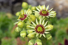 Sempervivum flower Royalty Free Stock Images