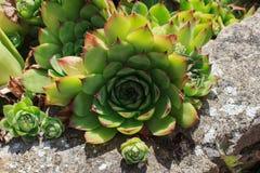 Sempervivum flower Stock Photo