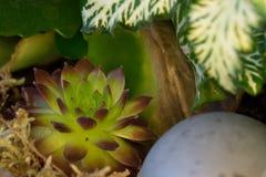 Sempervivum in a flower piece. stock images