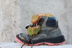 Sempervivum flowers in boot. Sempervivum flowers in an old boot in front of a wall royalty free stock photography