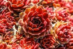 Sempervivum flowers. Sempervivum with red flowers in garden Stock Photo