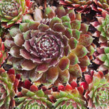 Sempervivum Fuego plant Royalty Free Stock Photos