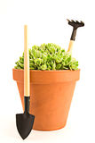 Sempervivum and garden tools Stock Image