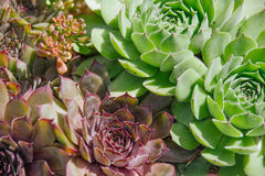 Sempervivum Stock Photo